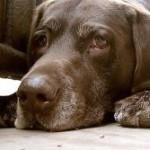 Пироплазмоз-сезонное заболевание собак