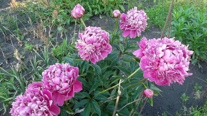 Как правильно выращивать пионы и гладиолусы?